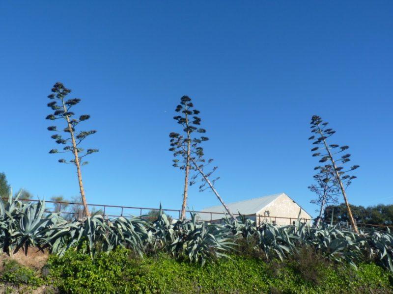 agave planta o pitera planta