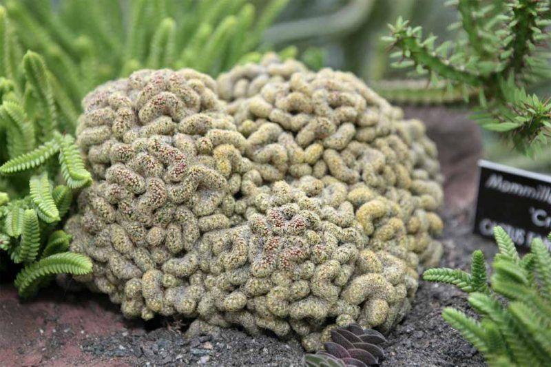 Impresionante cactus cerebro crestado