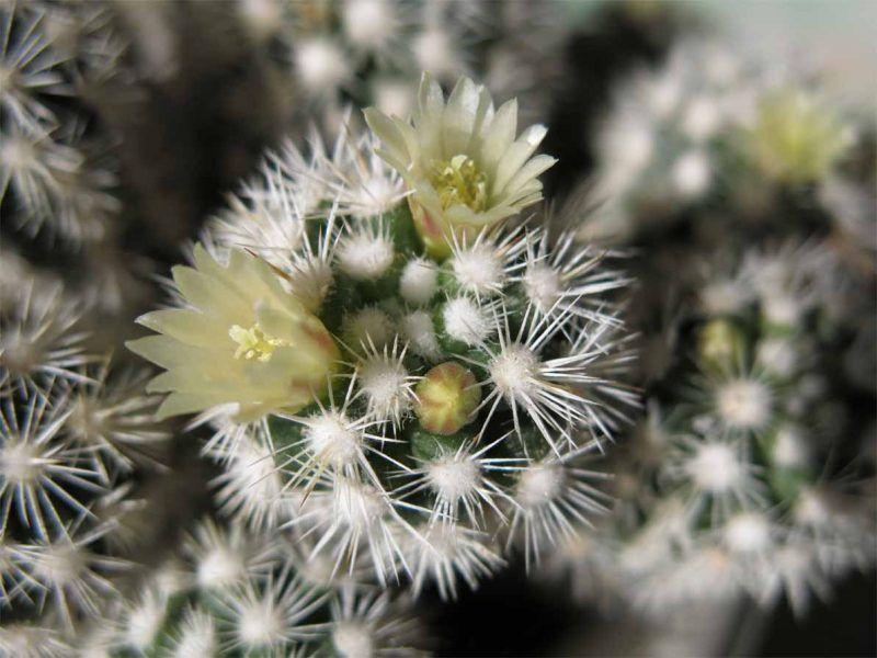 Mamilaria gracilis cuidados