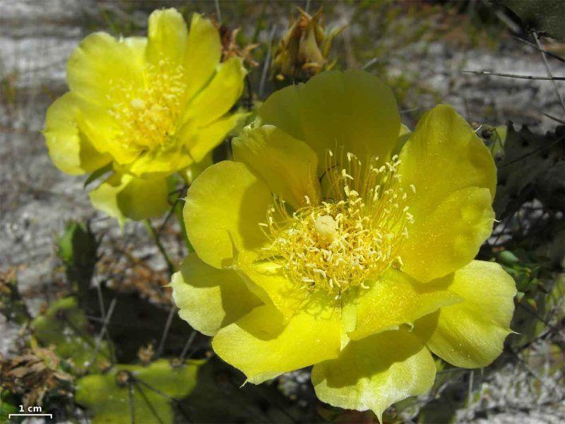 flores de opuntia humifusa