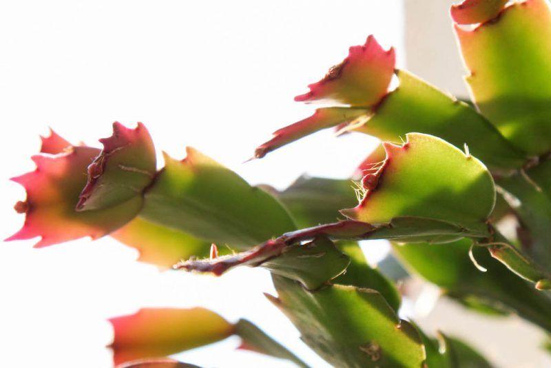 Poda cactus navidad