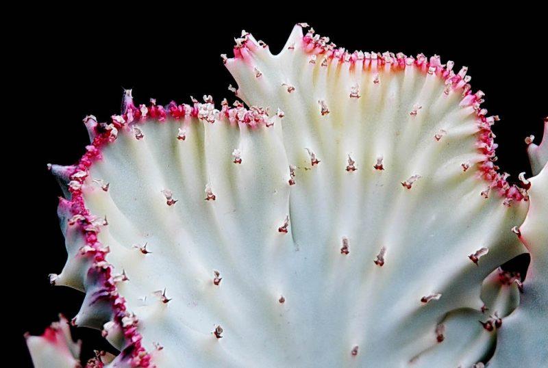 Cactus cresta del sol