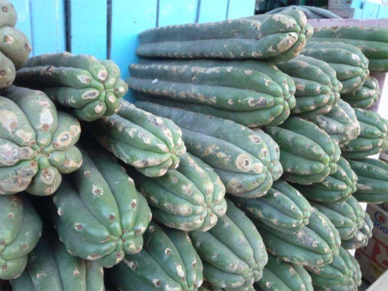 cactus alucinogenos