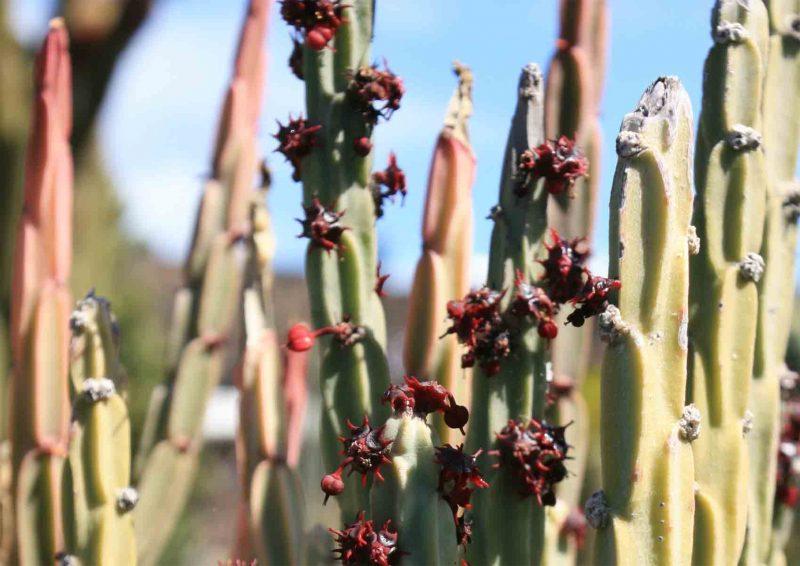 Cactus cresta