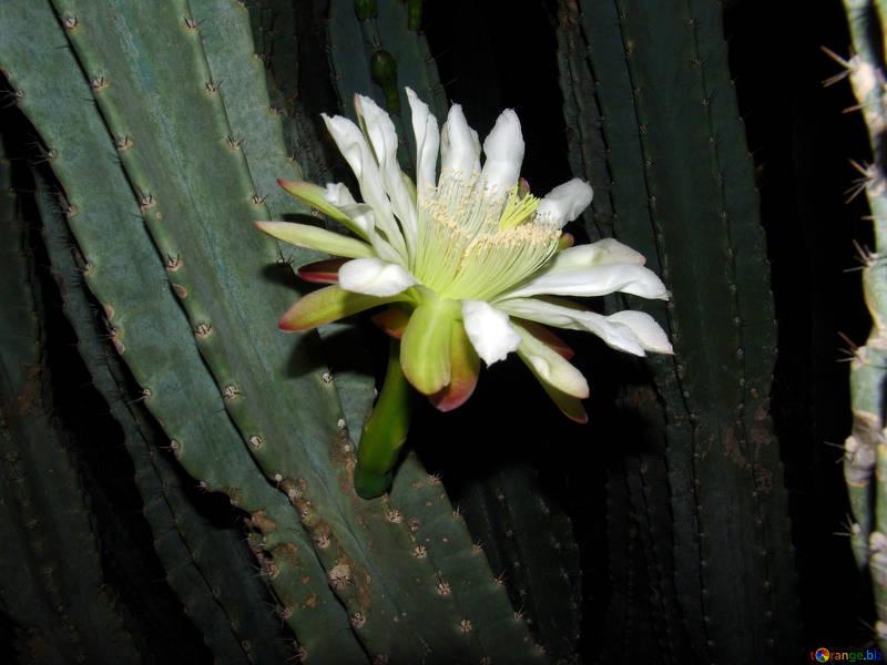 wachuma cactus