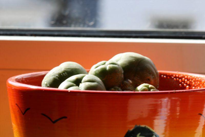 ¿Cómo cultivar una lophophora?