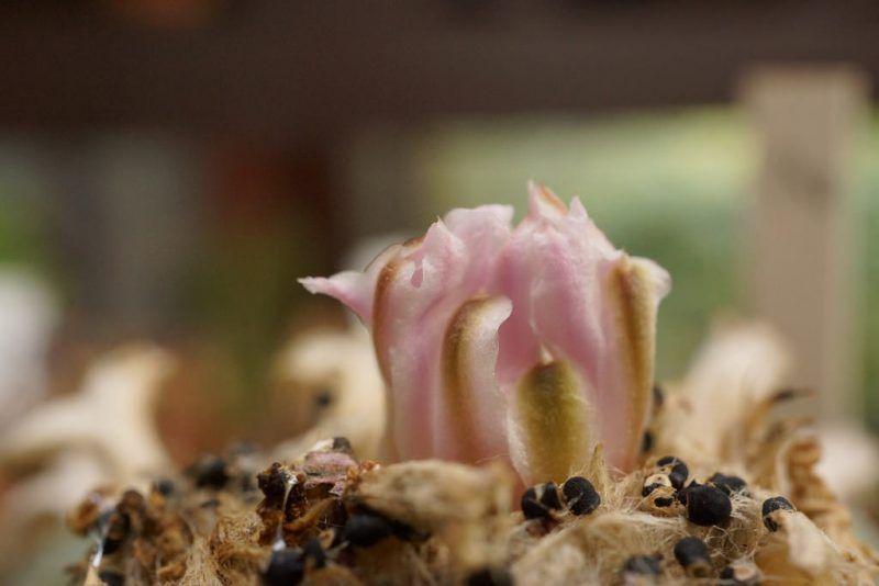 Flores de lophophora