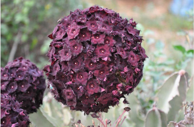 planta suculenta rosa